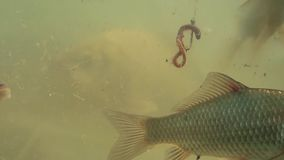 Nadada dos peixes no lago perto do gancho de peixes filme