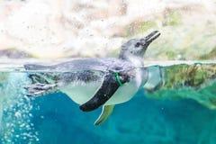 Nadada dos pinguins no aquário de Genoa Italy fotografia de stock