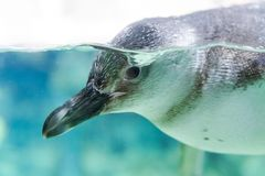 Nadada dos pinguins no aquário de Genoa Italy foto de stock royalty free