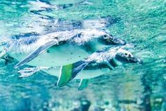 Nadada dos pinguins no aquário de Genoa Italy imagens de stock