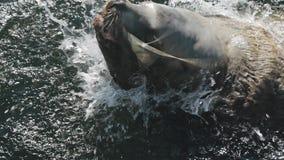 Nadada enorme do leão de mar nas águas frias do Oceano Pacífico gelado video estoque