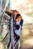 Nadada hermosa de los pescados en un acuario casero Foto de archivo libre de regalías