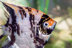 Nadada hermosa de los pescados en un acuario casero Imagenes de archivo