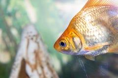 Nadada hermosa de los pescados en un acuario casero Imágenes de archivo libres de regalías