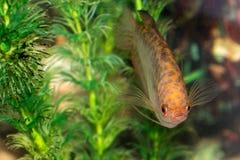 Nadada hermosa de los pescados en un acuario casero Fotos de archivo