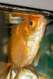 Nadada hermosa de los pescados en un acuario casero Imagen de archivo libre de regalías