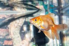 Nadada hermosa de los pescados en un acuario casero Foto de archivo