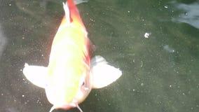 Nadada hermosa de los pescados de la carpa de Koi en agua flotante de la partícula metrajes