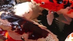 Nadada hermosa de los pescados de la carpa de Koi en agua flotante de la partícula almacen de metraje de vídeo
