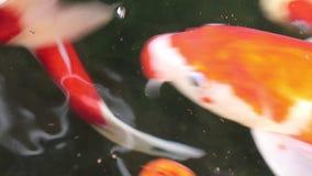 Nadada hermosa de los pescados de la carpa de Koi en la partícula que flota el agua verde almacen de video