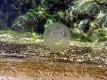 Nadada peligrosa de las medusas en el mar Fotos de archivo