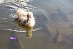 Nadada perdida do patinho com peixes imagens de stock royalty free