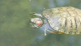 nadada Rojo-hinchada de la tortuga en la charca con otras tortugas metrajes