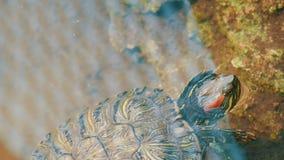 nadada Rojo-hinchada de la tortuga en la charca con otras tortugas almacen de metraje de vídeo