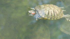 nadada Rojo-hinchada de la tortuga en la charca con otras tortugas almacen de video