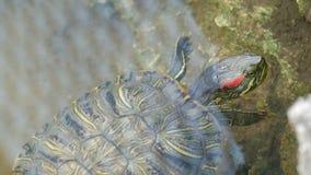 nadada Rojo-hinchada de la tortuga en la charca con otras tortugas cerca encima de la visión almacen de video
