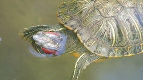 nadada Rojo-hinchada de la tortuga en la charca con otras tortugas cerca encima de la visión almacen de metraje de vídeo
