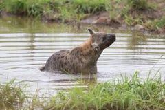 Nadada solitaria de la hiena en una pequeña piscina a refrescarse abajo en día caliente Foto de archivo libre de regalías