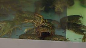 Nadada viva de los cangrejos en el agua del acuario en el supermercado almacen de metraje de vídeo