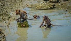 Nadada y juego salvajes locales Hua Hin Beach de los monos Fotografía de archivo