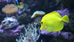 Nadadas amarillas de un pescado del sabor a lo largo de un arrecife de coral en agua de mar o un acuario almacen de video