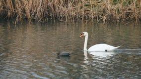 Nadadas blancas del cisne en el salvaje al lado de patos de madera metrajes