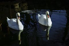 Nadadas brancas bonitas das cisnes imagens de stock