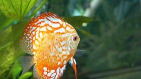 Nadadas coloreadas de los pescados en el acuario almacen de video