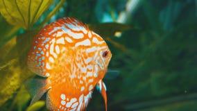 Nadadas coloreadas de los pescados en el acuario metrajes