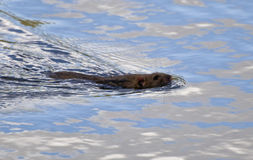 Nadadas de la rata Imagen de archivo