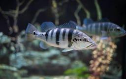 Nadadas de los pescados de Cichlid Fotografía de archivo