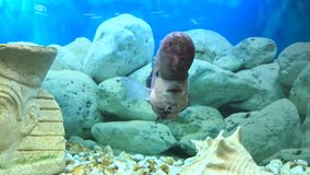 Nadadas de los pescados del cuerno de la flor en el acuario almacen de metraje de vídeo