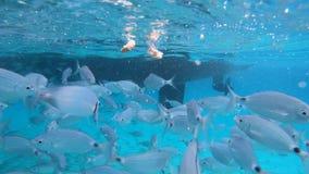 Nadadas de plata de los pescados del océano en la cámara metrajes