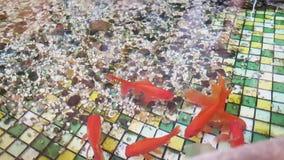 Nadadas del cometa del pez de colores en la piscina Piscina con los pequeños guijarros en la parte inferior y el pez de colores almacen de metraje de vídeo