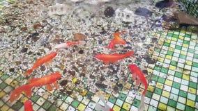 Nadadas del cometa del pez de colores en la piscina Piscina con los pequeños guijarros en la parte inferior y el pez de colores metrajes