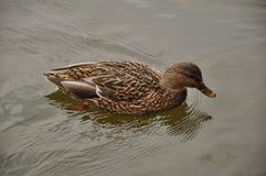 Nadadas del pato Imagen de archivo