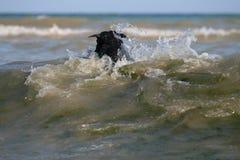 Nadadas del perro en ondas en el Mar Negro foto de archivo libre de regalías