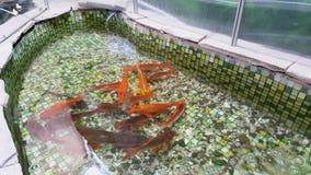 Nadadas del pez de colores en la piscina Piscina con los pequeños guijarros en la parte inferior y el pez de colores metrajes