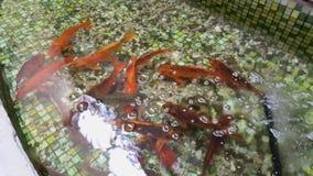 Nadadas del pez de colores en la piscina Piscina con los pequeños guijarros en la parte inferior y el pez de colores almacen de metraje de vídeo