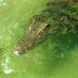 Nadadas do crocodilo Fotos de Stock Royalty Free
