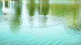 Nadadas do patinho na lagoa filme