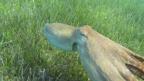 Nadadas do polvo vídeos de arquivo