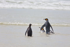 Nadadas dos pinguins Fotos de Stock
