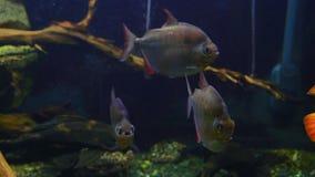 Nadadas exóticas de agua dulce de los pescados en un acuario de la alga marina almacen de metraje de vídeo