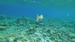 Nadadas solas hermosas de los pescados en los bajos Tiroteo debajo del agua Los rayos del ` s del sol brillan a trav?s del agua almacen de video