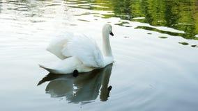 Nadadas solas hermosas del cisne negro en el lago en la puesta del sol, concepto de la fauna almacen de video