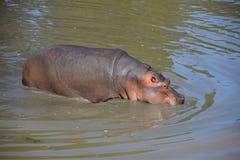 Nadadas y paseos de un hipopótamo en agua Foto de archivo libre de regalías
