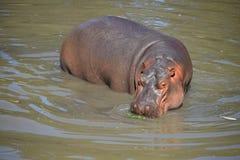 Nadadas y paseos de un hipopótamo en agua Fotografía de archivo libre de regalías