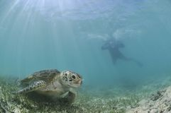 Nadador Approaching Sea Turtle subacuático foto de archivo