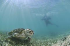 Nadador Approaching Sea Turtle subaquático foto de stock